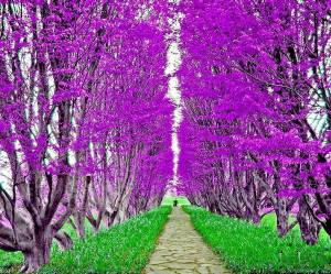 Purple Vineyard
